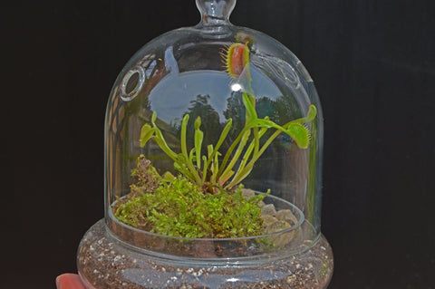 Plants 101 Venus Flytrap 46 Spruce Home And Garden
