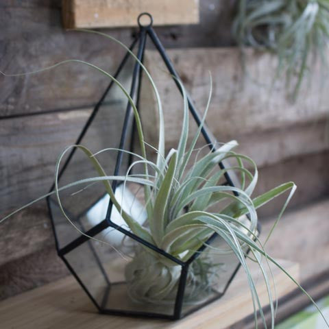 Air Plant Terrarium Container