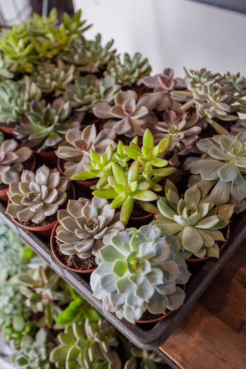 repotting succulents