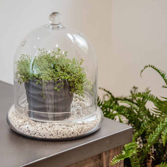 Mid Size Glass Cloche 46 Spruce Home And Garden
