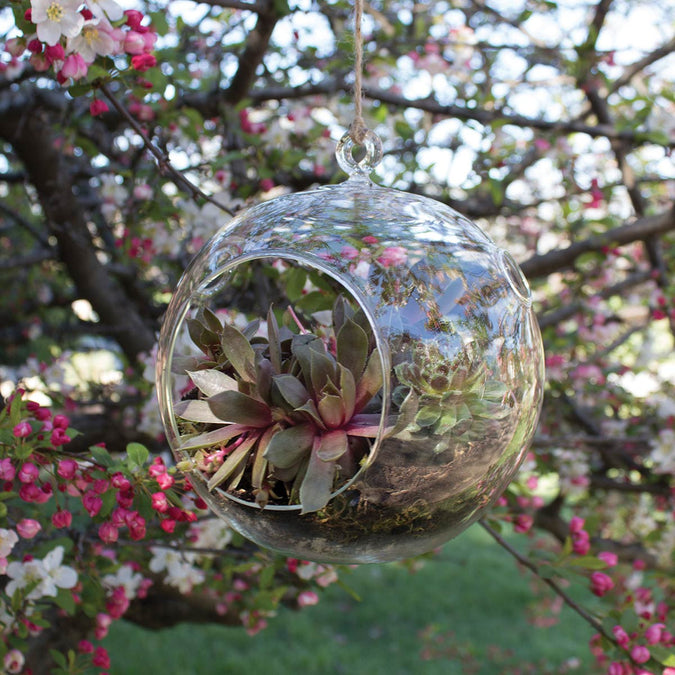 large round hanging terrarium hanging from a tree filled with succulents