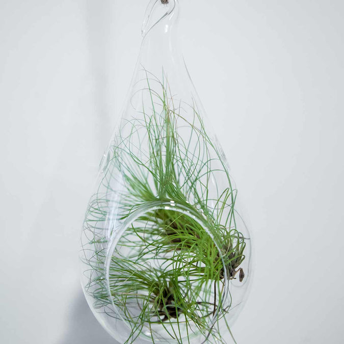 large hanging terrarium filled with airplants
