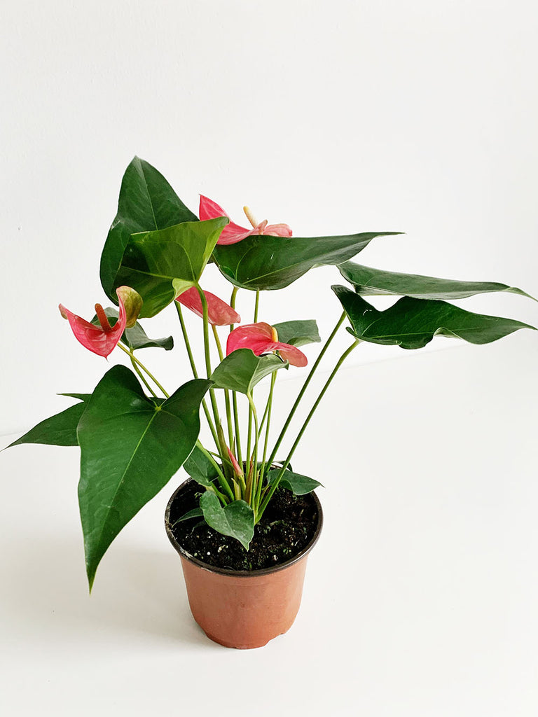 Blush Anthurium
