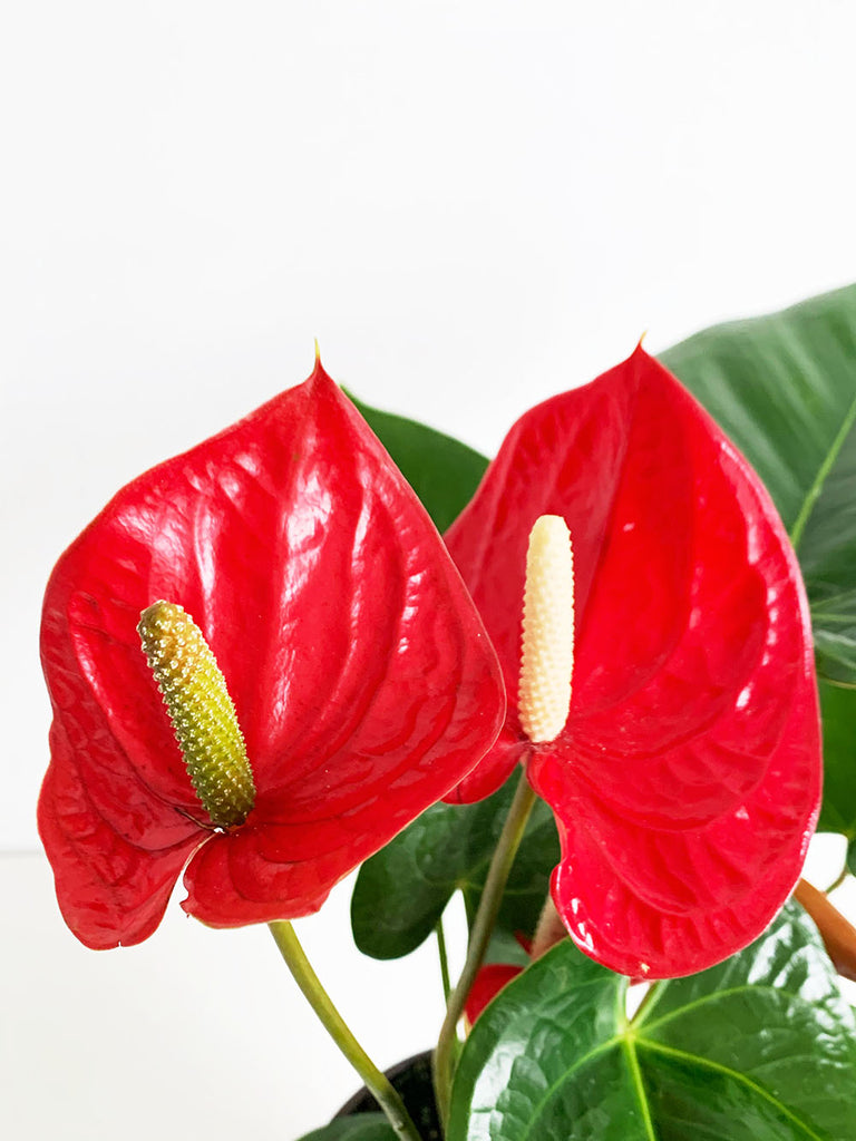 Crimson Anthurium