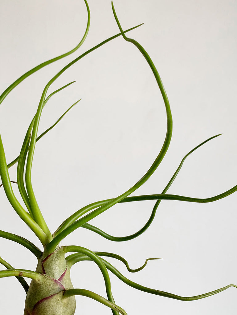 Tillandsia Bulbosa Belize