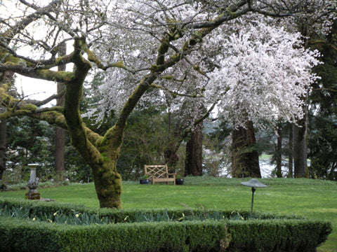 Cherry-Blossoms-at-Lakewold-Gardens,-WA