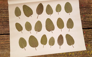 Pressed Berggarten Sage Leaves