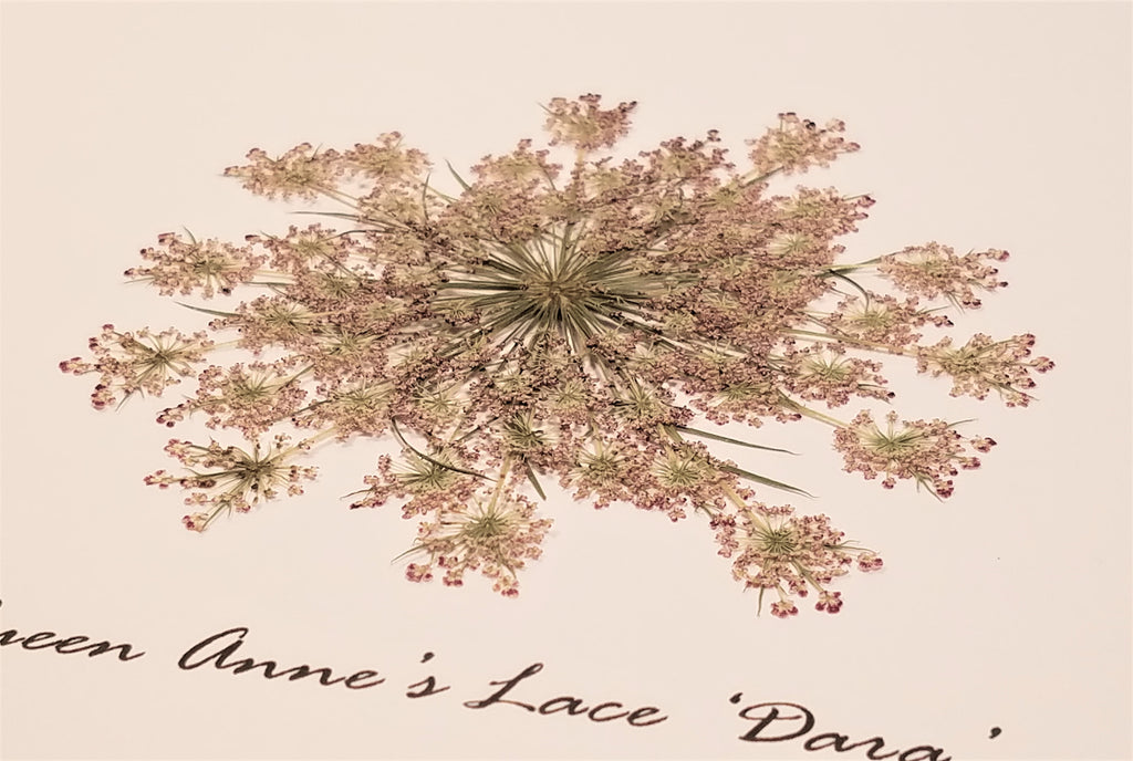 Pressed 'Dara' Ammi/False Queen Anne's Lace - Size Extra Large