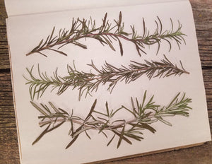 Pressed Rosemary, Tall