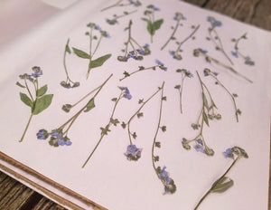 Pressed Forget-Me-Not