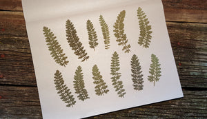 Pressed Yarrow Leaves