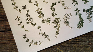 Pressed Thyme