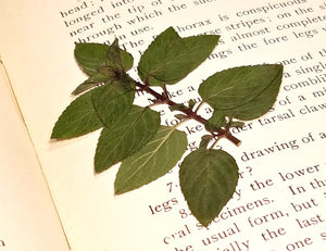 Pressed Peppermint Leaves