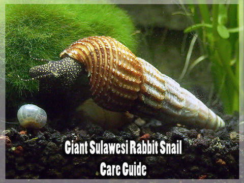 Giant Sulawesi Rabbit Snail - Care Guide