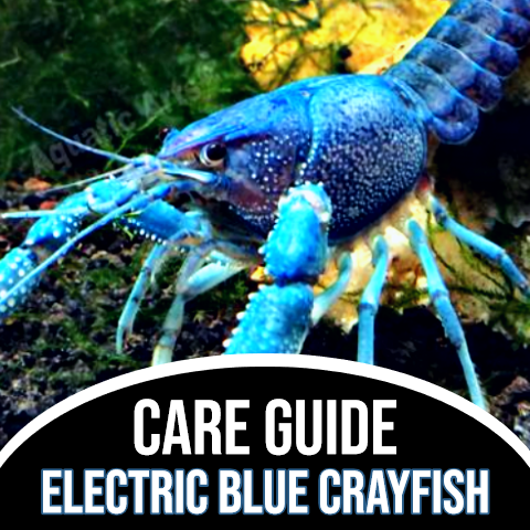 Electric Blue Crayfish Care Guide