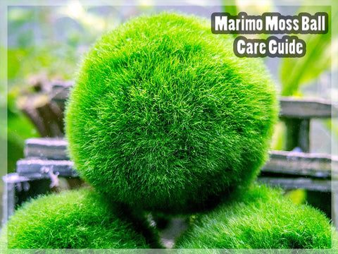 Marimo Moss Ball Care Guide Plants For Pets