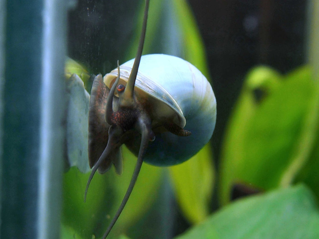 DELUXE Multi-Color Mystery Snail COMBO PACK (Pomacea bridgesii) - Tank-Raised!