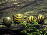 Nerite Snail Combo Pack #1: 5 Zebra Nerites (Neritina natalensis) + 5 Tiger Nerites (N. semiconica) + 5 Sun Thorn Nerites (Clithon sp.)