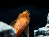 Super Red Bristlenose Pleco (Ancistrus sp.