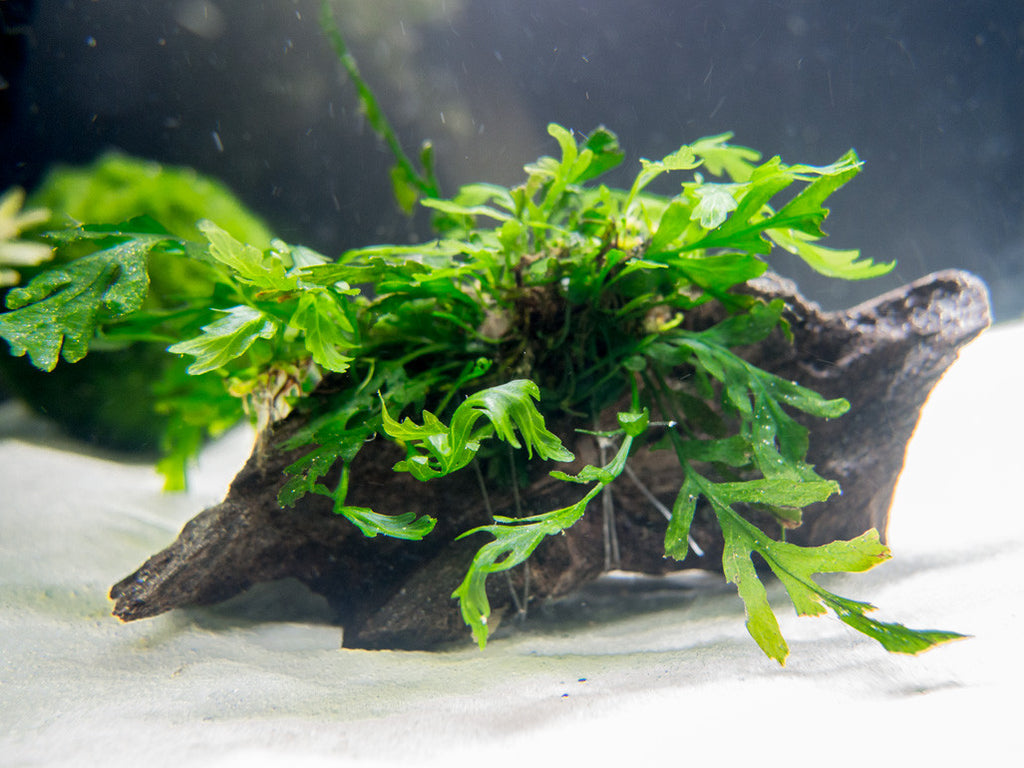 African Water Fern (Bolbitis heudelotii) on 3- to 6-inch Driftwood