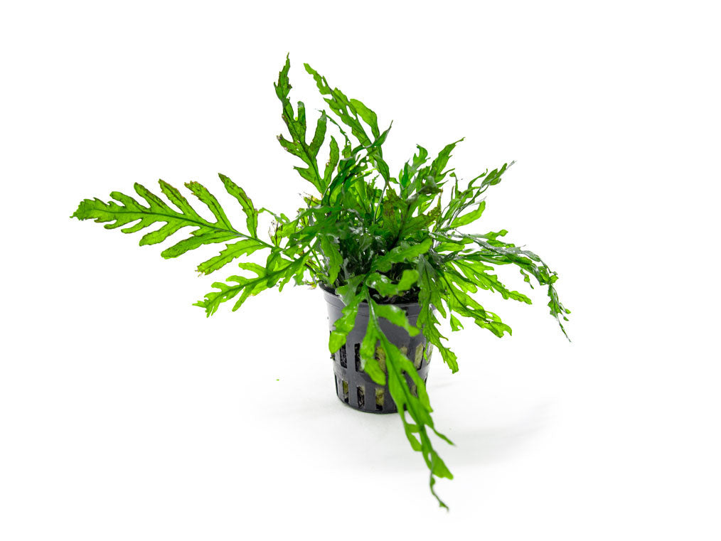 African Water Fern (Bolbitis heudelotii) - Potted, 3 - 4 Inches