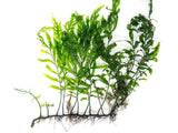 XXL African Water Fern (Bolbitis heudelotii) - Bare Root, 8 - 12 Inches!
