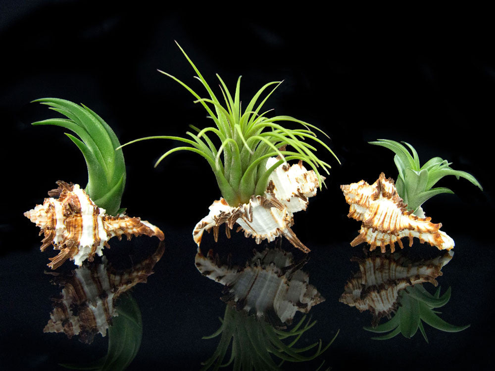 Tillandsia Air Plant Shell Kit - Includes 3 Live Plants and 3 Hand Picked Seashell Holders
