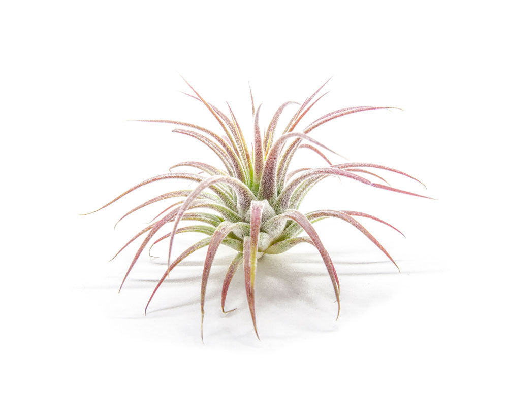 Air Plant Variety Pack - Bulk Assorted Species of Live Tillandsia House Plants