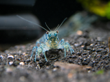 Alabama Dwarf Crayfish/Mini Lobster (Cambarellus sp.