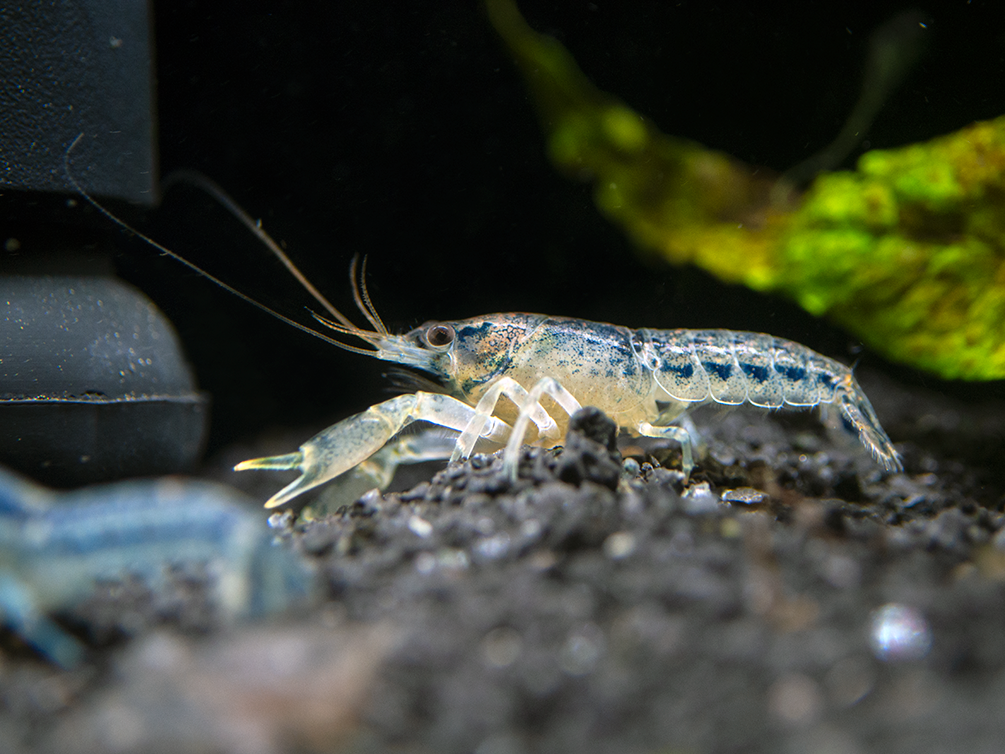 "Alabama Dwarf Crayfish/Mini Lobster (Cambarellus sp. ""Alabama""), Tank-Bred!"