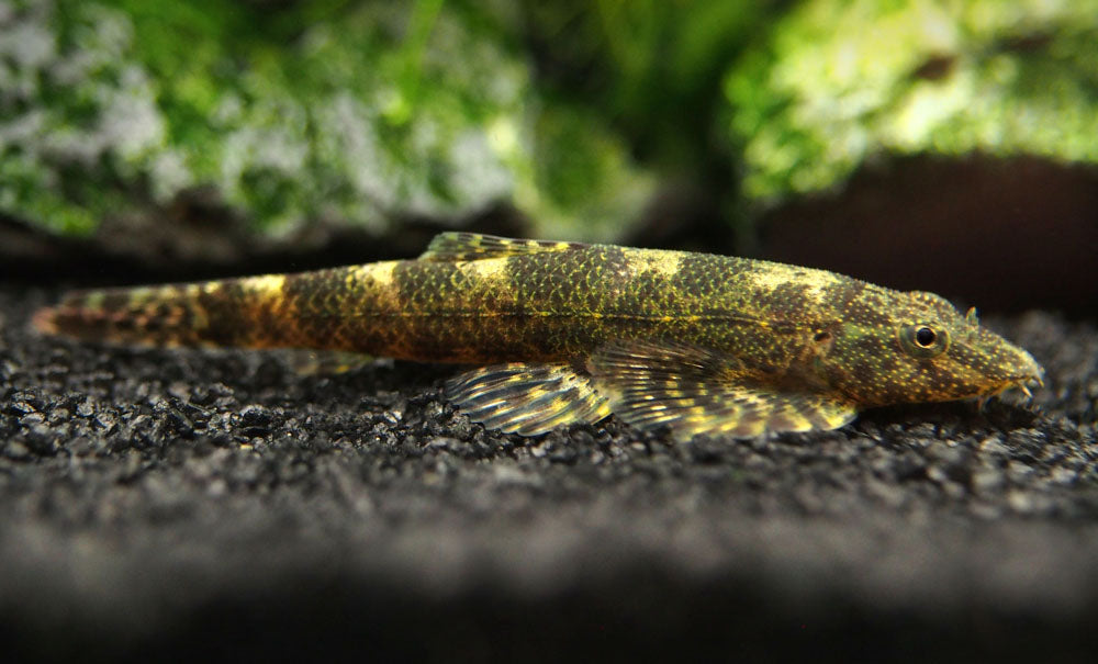 Alligator AKA Green Lizard Hillstream Loach (Homalopteroides tweediei)