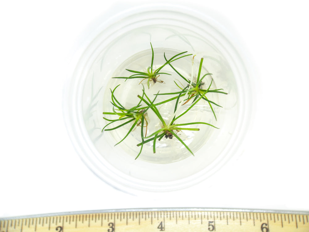 American Shoreweed (Littorella uniflora) Tissue Culture