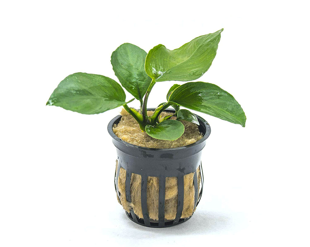 Anubias barteri - Potted, 3 - 5 Inches Tall