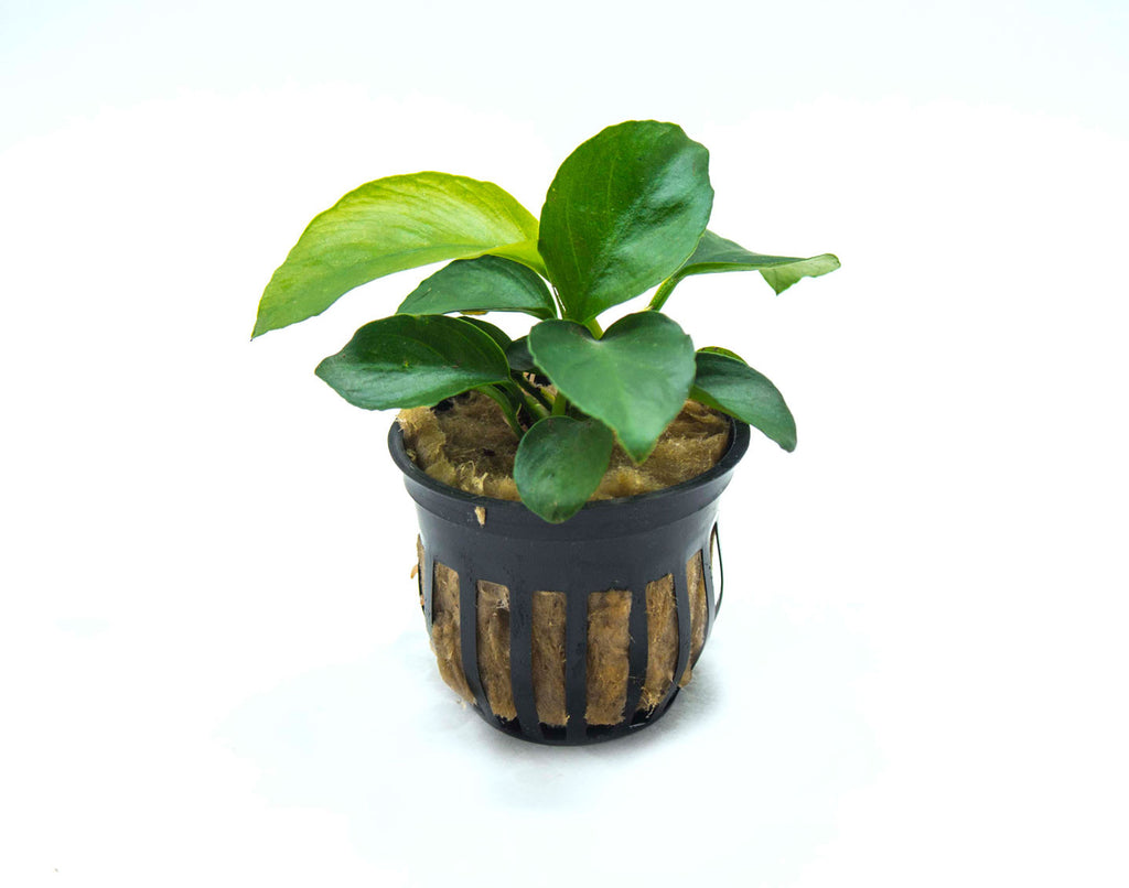 Anubias barteri (Potted) - 3-5 Inches Tall