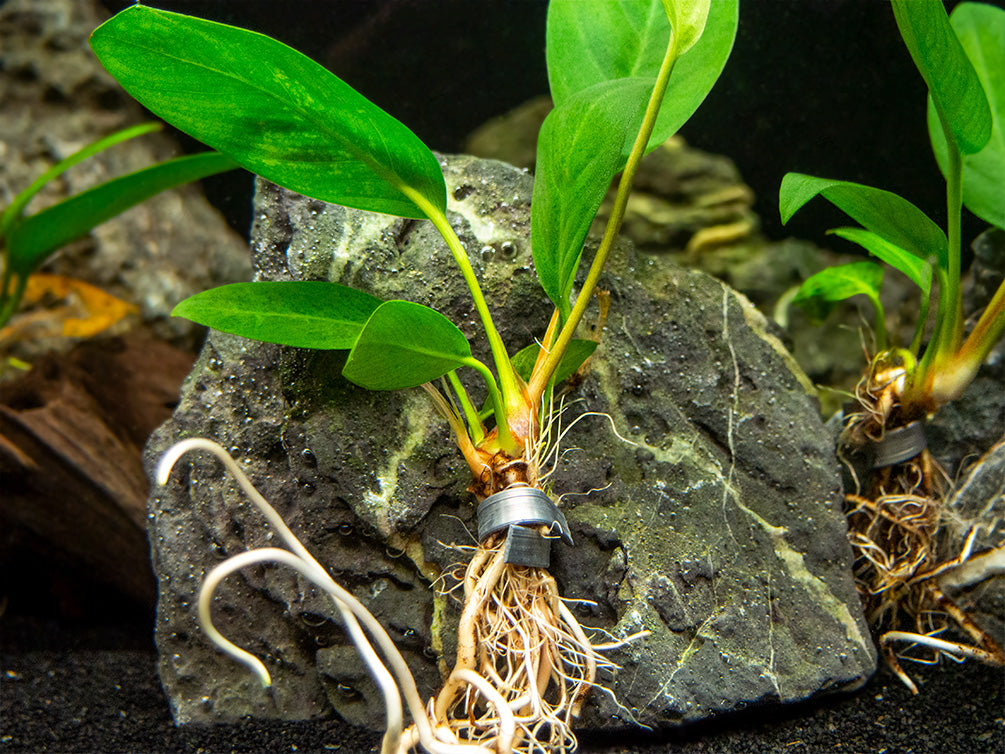 "Anubias Congensis (Anubias afzelii ""Congensis""), bare root"