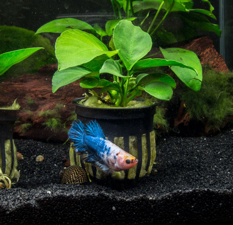 Dwarf Anubias (Anubias nana) - 3 to 5 inches tall