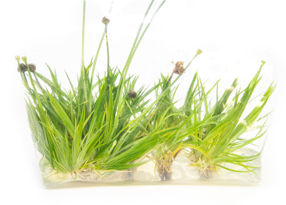 Ashy Pipewort (Eriocaulon cinereum) Tissue Culture