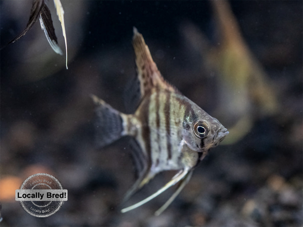 Assorted Angelfish (Pterophyllum scalare) - Locally Bred!