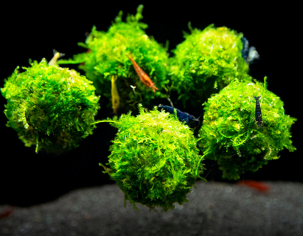 Handmade Java Moss Floating Ball