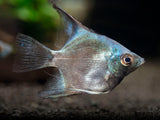 Avatar Turkey Green Angelfish (Pterophyllum scalare