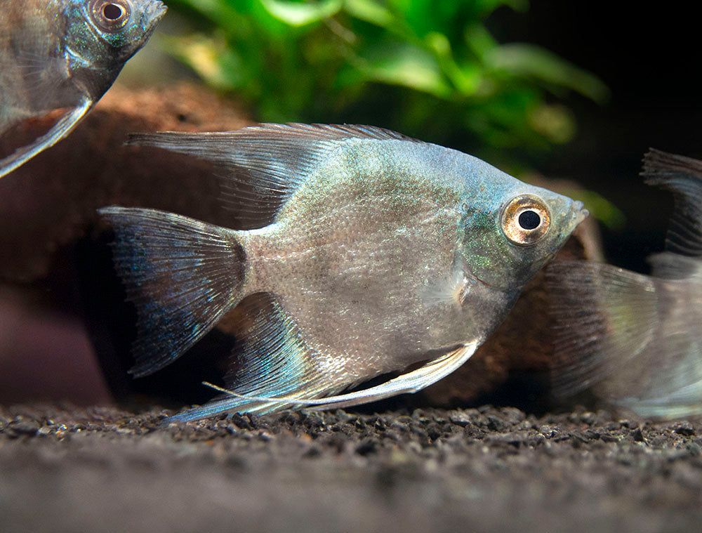 "Avatar Turkey Green Angelfish (Pterophyllum scalare  ""Avatar Turkey Green"") - Tank-Bred!!!"