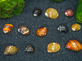 B-Grade Nerite Snails - Assorted Species, Colors, and Patterns!