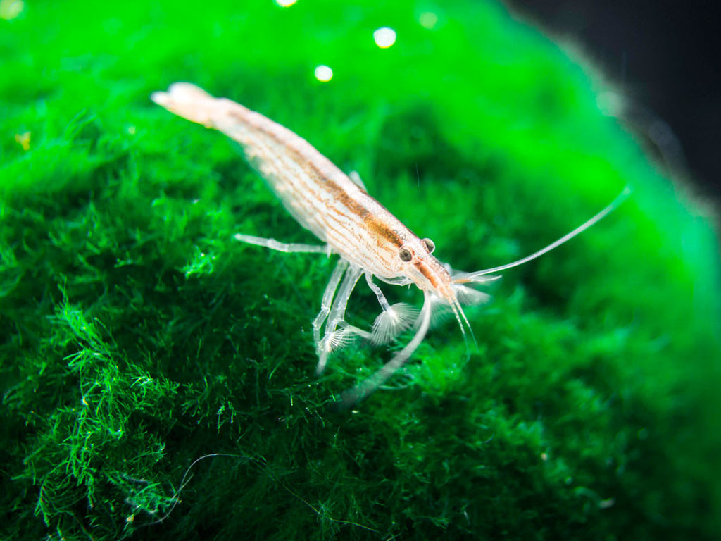 SMALL Bamboo Shrimp aka Singapore Flower Shrimp (Atyopsis moluccensis) - 1+ inch