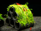 Bamboo Charcoal Shelter with Java Moss (Taxiphyllum barbieri), Handmade!