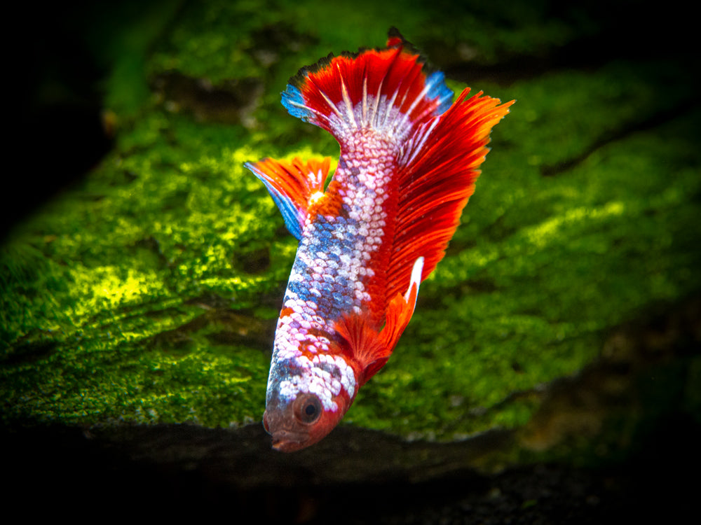 "Assorted Fancy Plakat Betta (Betta splendens ""Plakat""), Male - Tank-Bred!"