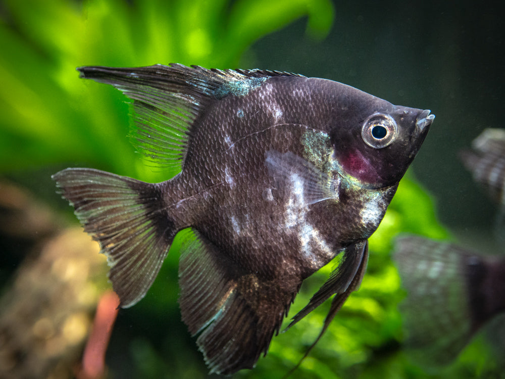 "Black Angelfish (Pterophyllum scalare  ""Black"") - LOCALLY BRED!!!"