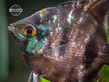 Black Angelfish (Pterophyllum scalare