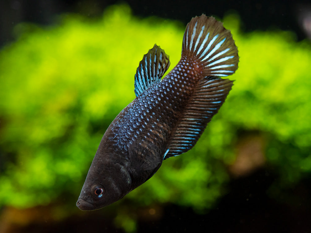Assorted Black Plakat Betta (Betta splendens) - Tank-Bred!
