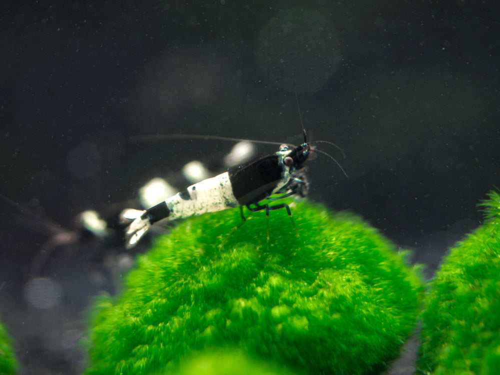 "Black King Kong AKA Black Bolt Shrimp (Caridina cantonensis var. ""Black King Kong/Black Bolt""), A-S Grade, Tank-Bred!"