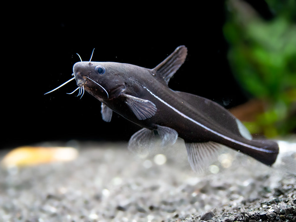 Black Lancer Catfish (Bagrichthys macracanthus)
